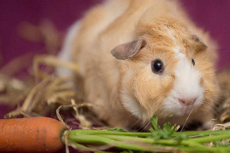 Guinea pig eating carrot