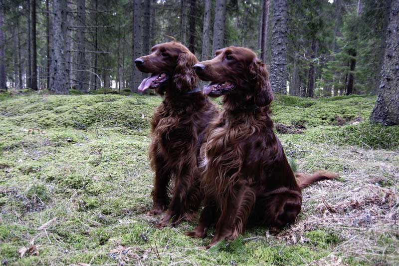 Irish Setters In The Woods