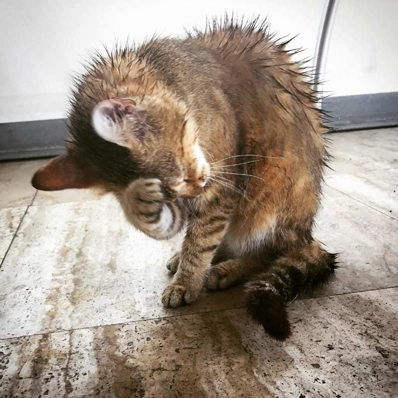 Wet cat from bath