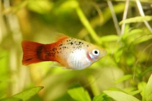 Platy fish in aquarium