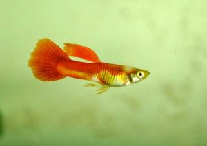 Red guppy