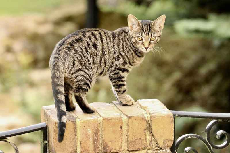 Bengal cat on fence