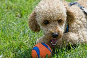 Brown poodle with ball