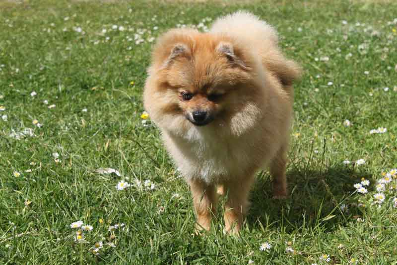 Pomeranian dog on grass
