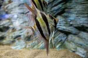Angelfish swimming