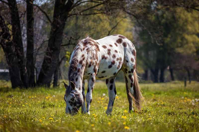 Appaloosa eating grass