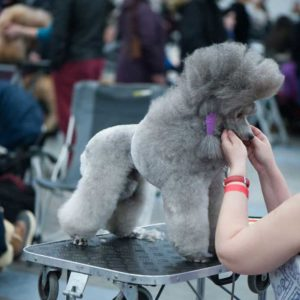 Groomed show poodle