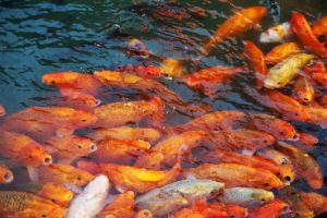 Several goldfish in the water