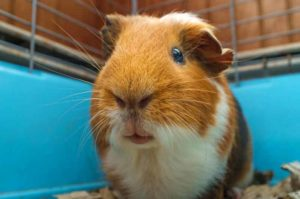 Guinea pig close up in cage
