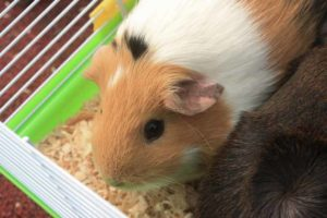 Guinea pig in cage