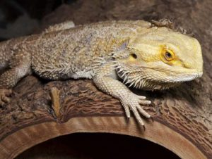 Bearded dragon with cricket on the head