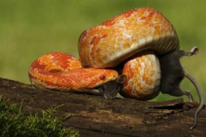 Corn snake eating a mouse