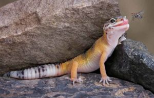 Leopard gecko and fly
