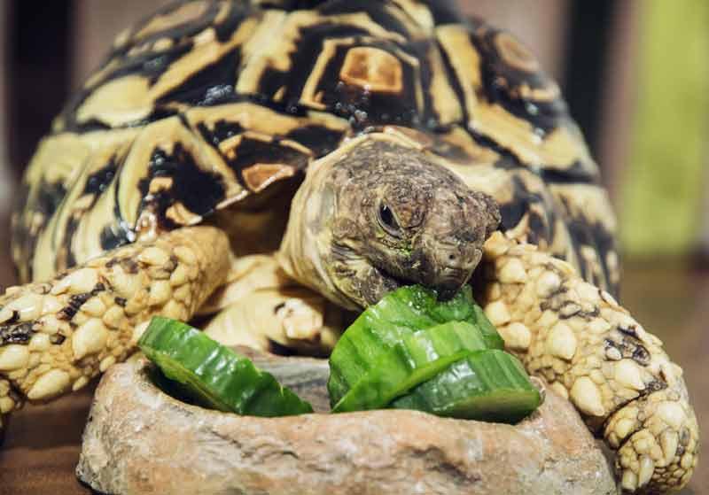 Tortoise eating a cucumber